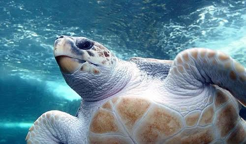 <strong>Castelvetrano</strong>. Recuperata tartaruga caretta caretta vicino alla Riserva naturale orientata Foce del Fiume Belice