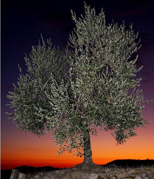 <strong>Il Mediterraneo</strong> e il suo ulivo