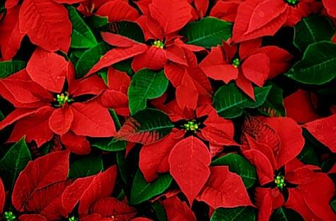 Stella Di Natale Secca.Stella Di Natale Consigli Per La Cura Ed Il Mantenimento