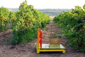 Cesta d'uva Cantine Settesoli