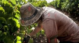 <strong>In Sicilia la vendemmia più grande d&#8217;Europa</strong>: a Menfi due giorni tra vigneti, mare e cucina contadina