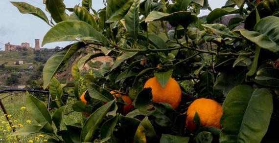 Salviamo le arance siciliane. Agricoltori giovedì in piazza