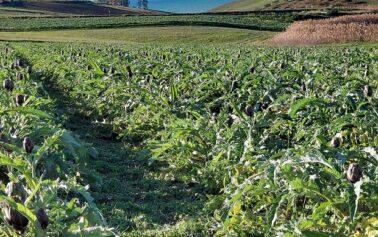 Mercoledi ore 18:00, Slow Food Sciacca racconta il carciofo spinoso di Menfi